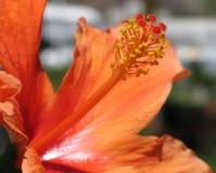 Ibisco arancione fotografia stock