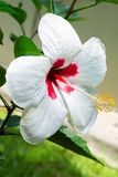 Ibisco bianco Immagini Stock Libere da Diritti