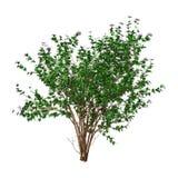 ibisco Bush della rappresentazione 3D con i fiori su bianco Fotografie Stock
