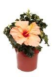 Ibisco conservato in vaso Fotografie Stock