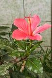 Ibisco del fiore di Gumamela Fotografia Stock Libera da Diritti