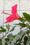 Ibisco del fiore di Gumamela Immagini Stock Libere da Diritti