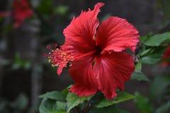 Ibisco del Kerala fotografia stock libera da diritti