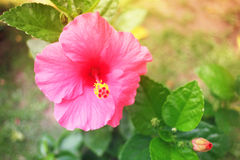 Ibisco dolce e molle nel colore d'annata Immagine Stock Libera da Diritti