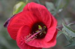 Ibisco e ape Immagini Stock