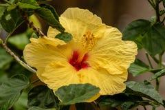 Ibisco giallo immagine stock
