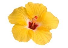 Ibisco giallo fotografie stock