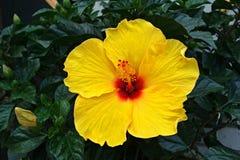 Ibisco giallo Immagini Stock Libere da Diritti