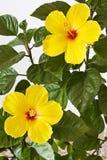 Ibisco giallo Fotografia Stock