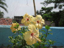 Ibisco giallo Immagini Stock