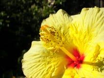 Ibisco giallo Fotografia Stock Libera da Diritti