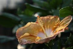 Ibisco giallo appassente Fotografia Stock Libera da Diritti