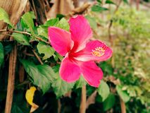 ibisco fotografia stock