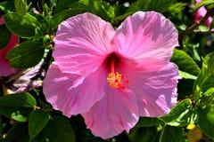 Ibisco rosa Fotografia Stock Libera da Diritti