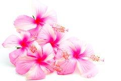Ibisco rosa immagine stock