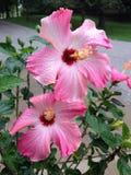 Ibisco rosa Fotografie Stock