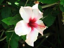 Ibisco rosa-chinensis Fotografia Stock Libera da Diritti