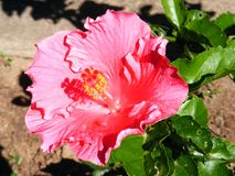 Ibisco rosa nessun 3 Fotografie Stock