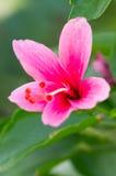 Ibisco Rosa Sinensis. Immagine Stock