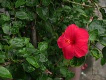 Ibisco rosso fotografie stock libere da diritti