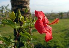 Ibisco rosso Fotografia Stock Libera da Diritti