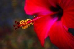 Ibisco rosso fotografie stock