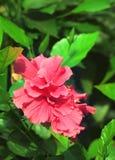 Ibisco rosso con i fogli Fotografie Stock Libere da Diritti