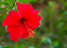 Ibisco rosso del fiore Fotografia Stock Libera da Diritti