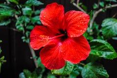Ibisco rosso nel giardino fotografie stock libere da diritti