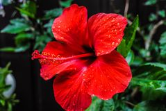 Ibisco rosso nel giardino fotografie stock