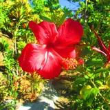 Ibisco in un'isola tropicale fotografia stock