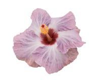 Ibisco Violetta immagini stock
