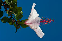 ibiscus Стоковая Фотография RF