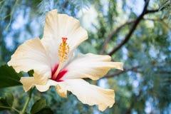 Ibiscus Arkivbild