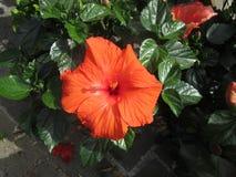 Ibiscus Royaltyfri Bild