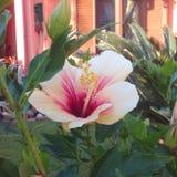 Ibiscus giallo Immagini Stock Libere da Diritti