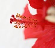 Ibiscus vermelho Fotos de Stock Royalty Free