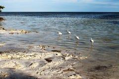 ibises Fotografia Stock Libera da Diritti