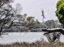 Ibises blancs australiens : Exécution du vol au lac Coogee Photographie stock