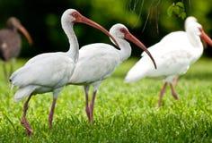 Ibises blancs forageant pour des insectes Photos libres de droits