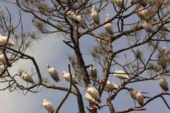 Ibises brancos empoleirados na árvore de pinho Fotos de Stock Royalty Free