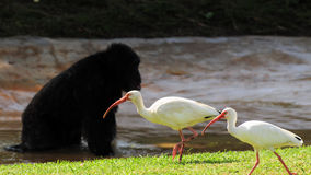 Ibises and Chimp Royalty Free Stock Images