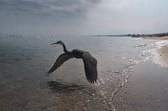Ibises flying over sea Royalty Free Stock Photo