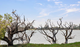 Ibises on Leafless Wetland Trees royalty free stock photo