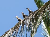 Ibises necked de color de ante en una palmera Imágenes de archivo libres de regalías