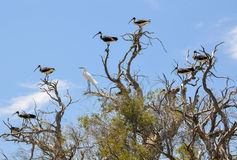 Ibises Paille-étranglés avec un héron blanc : Australie occidentale Photos libres de droits