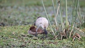 Ibises sagrados que alimentan entre mala hierba