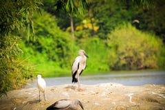 Ibisfågel Arkivbild