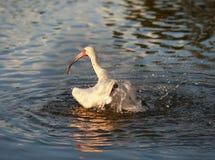 Ibisfågel som tar ett bad i flodvattnet Royaltyfri Bild