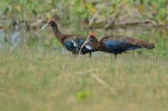 2 ibisfåglar Arkivfoton
